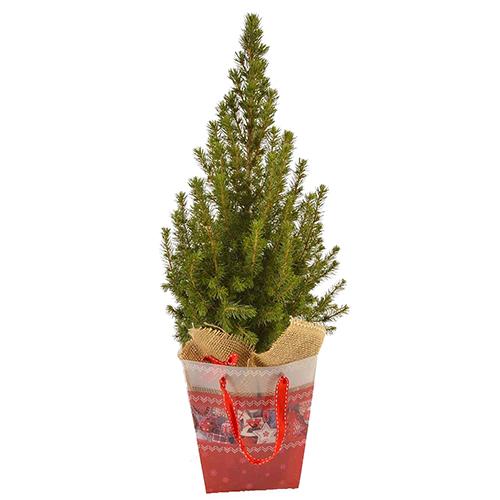 Канадская ель Коника 50-60  cм (подарочная елка) арт. 20 608