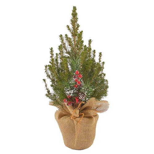 Канадская ель Коника 50-60 cм (подарочная елка) арт. 20 643