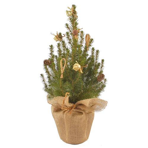 Канадская ель Коника 50-60 cм (подарочная елка) арт. 20 648